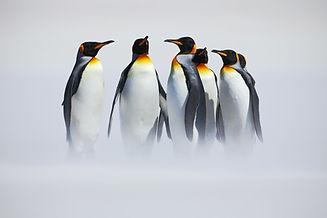 Group of six King penguins, Aptenodytes