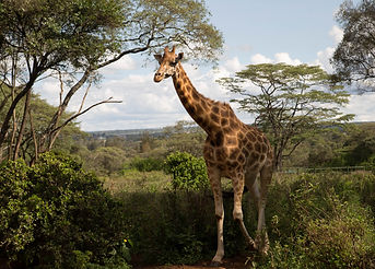A wild giraffe walk though the brushwood