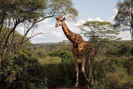 A wild giraffe walk though the brushwood