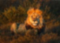 Lion(Panthera leo)