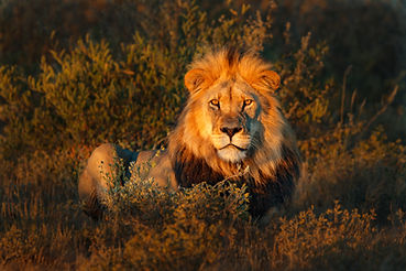 Lion(Panthera leo)