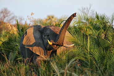 Elephant (Loxodonta africana) in the Oka