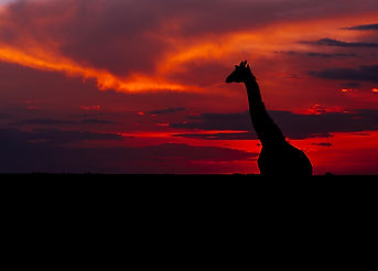 girrafe in the sunset.jpg
