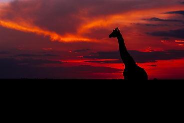 girrafe in the sunset.jpg