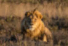 Male Lion Basking