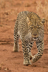 African Leopard, Panthera pardus, walkin
