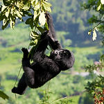 A baby mountain gorilla in a tree.jpg Ug
