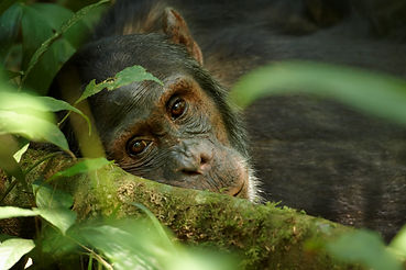 Close up portrait of old chimpanzee Pan