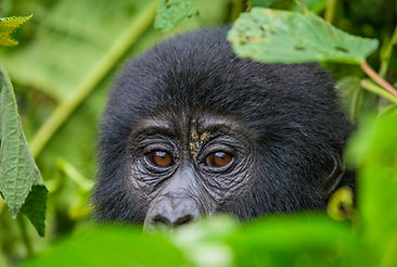 Portrait of a mountain gorilla.jpgUganda
