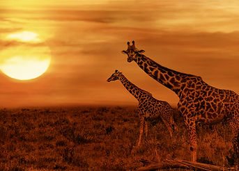 Giraffes at African Sunset Background.jp