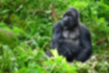 A silverback mountain gorilla in a rainf