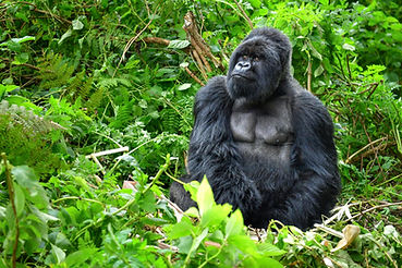 A silverback mountain gorilla in a rainf