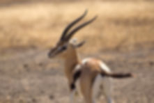 Thomson's gazelle taken in Ngorongoro cr