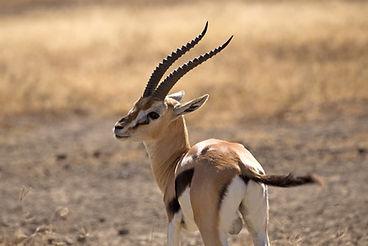 Thomson's gazelle taken in Ngorongoro cr