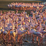 Magnificent birds forage in shallow wate