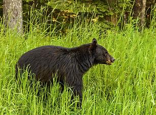 American black bear (Ursus americanus) i