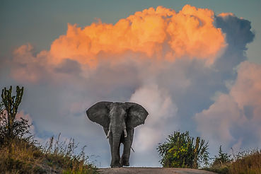 Majestic elephant in musth at sunset, Mw