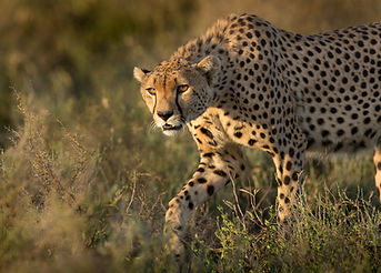 A Male Cheetah Hunting In The Serengeti,