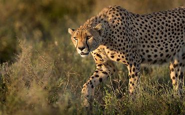 A Male Cheetah Hunting In The Serengeti,