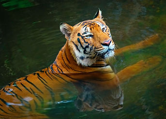 Tiger in water India.jpg