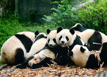 Group of cute giant panda bear eating ba