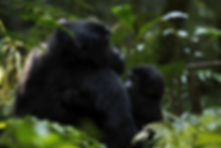 Uganda Gorilla & Baby