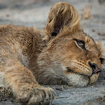 Lion Cub Laying Down In The Kruger Natio