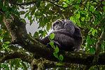 (Pan troglodytes) is an African ape.jpg