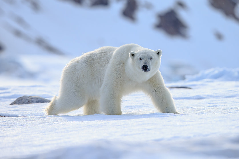 Polar Bear (Ursus maritimus),.jpg