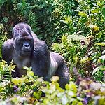 Mountain gorilla, Volcano National Park,