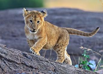 Lion Masai Mara.jpg
