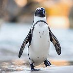 African Penguin ( Spheniscus Demersus).j