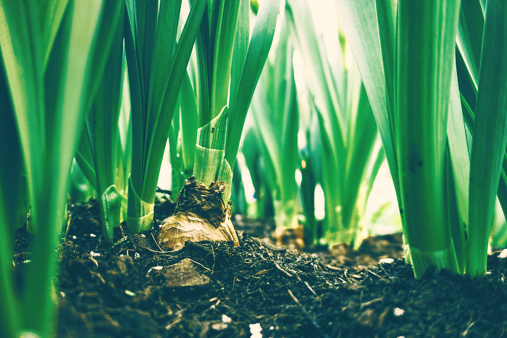 tulip bulbs sprouting from the earth