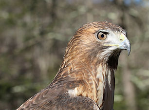 Chester-Educational Red Tailed Hawk.jpg