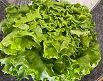 hyrdo green leaf lettuce .jpg
