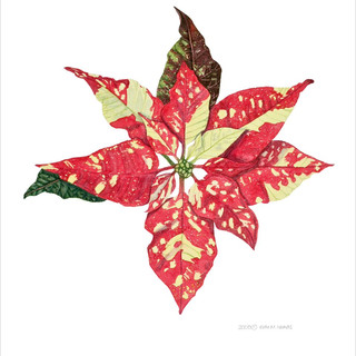Poinsettia *SOLD