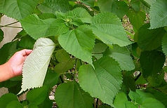 nettle plant used to make ramie fabric