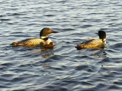 Loons on Smith Lake