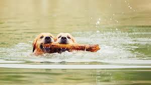 Hundesvømming dobbel