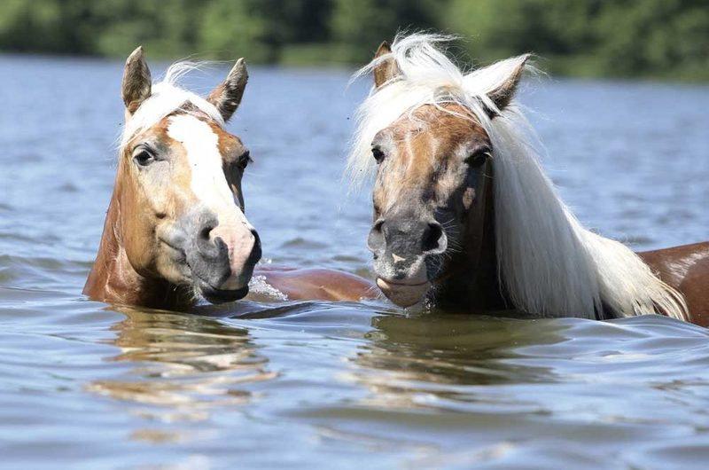 Hestesvømming dobbel