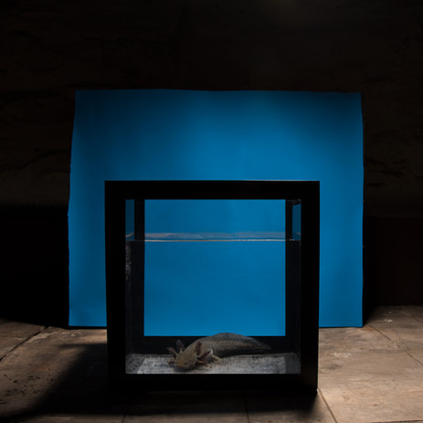 Axolotl in Acrylic Cube, 2016.