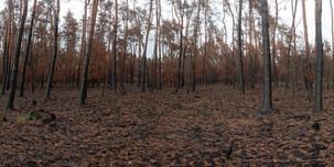 """Burnt forest (50°15'43.3""""N 8°24'22.2""""E)"""