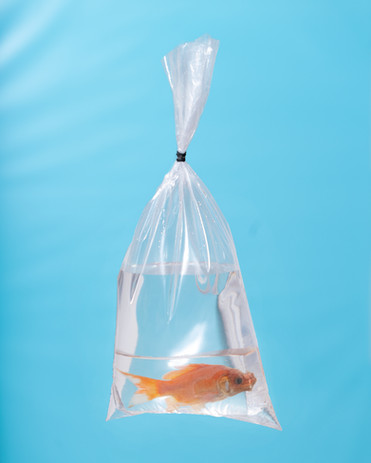 Dead Orange Comet Goldfish Cast Into Resin Paperweight in a Plastic Bag, 2020
