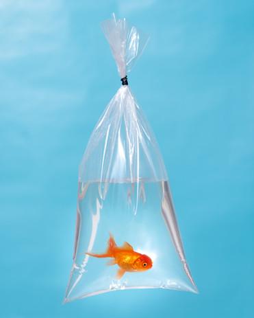 Orange Oranda Goldfish in a plastic bag, 2020
