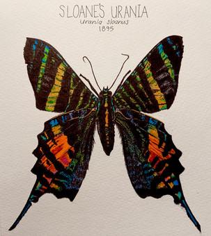 Sloane's Urania (Extinct Lepidoptera 1)