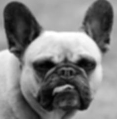 french-bulldog-2427629_1920_edited.jpg