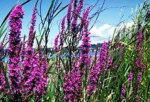 purpleloosestrifeflowers.jpg