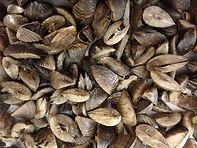 5. Zebra Mussels.jpg
