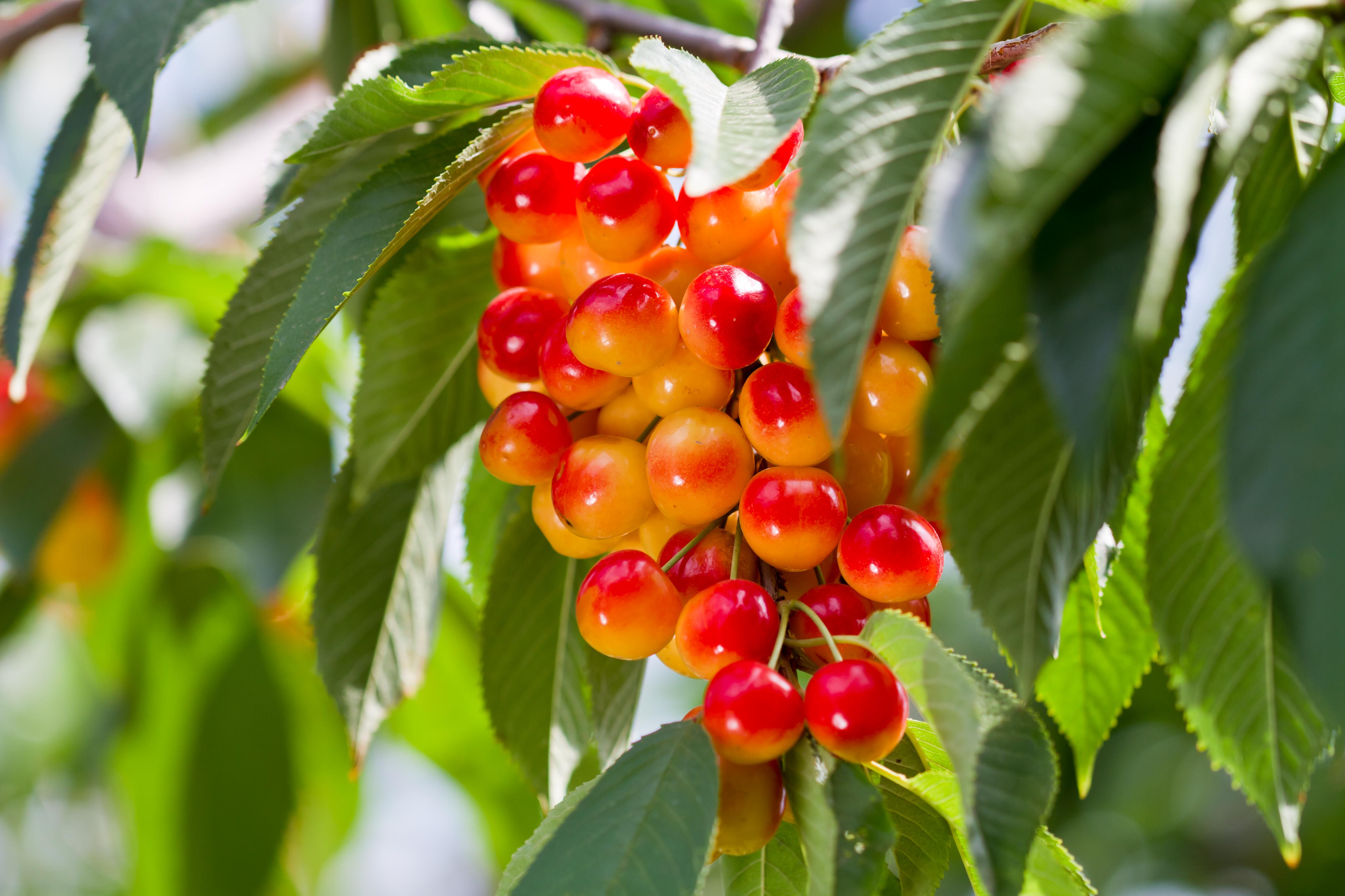 Cherries-7.jpg