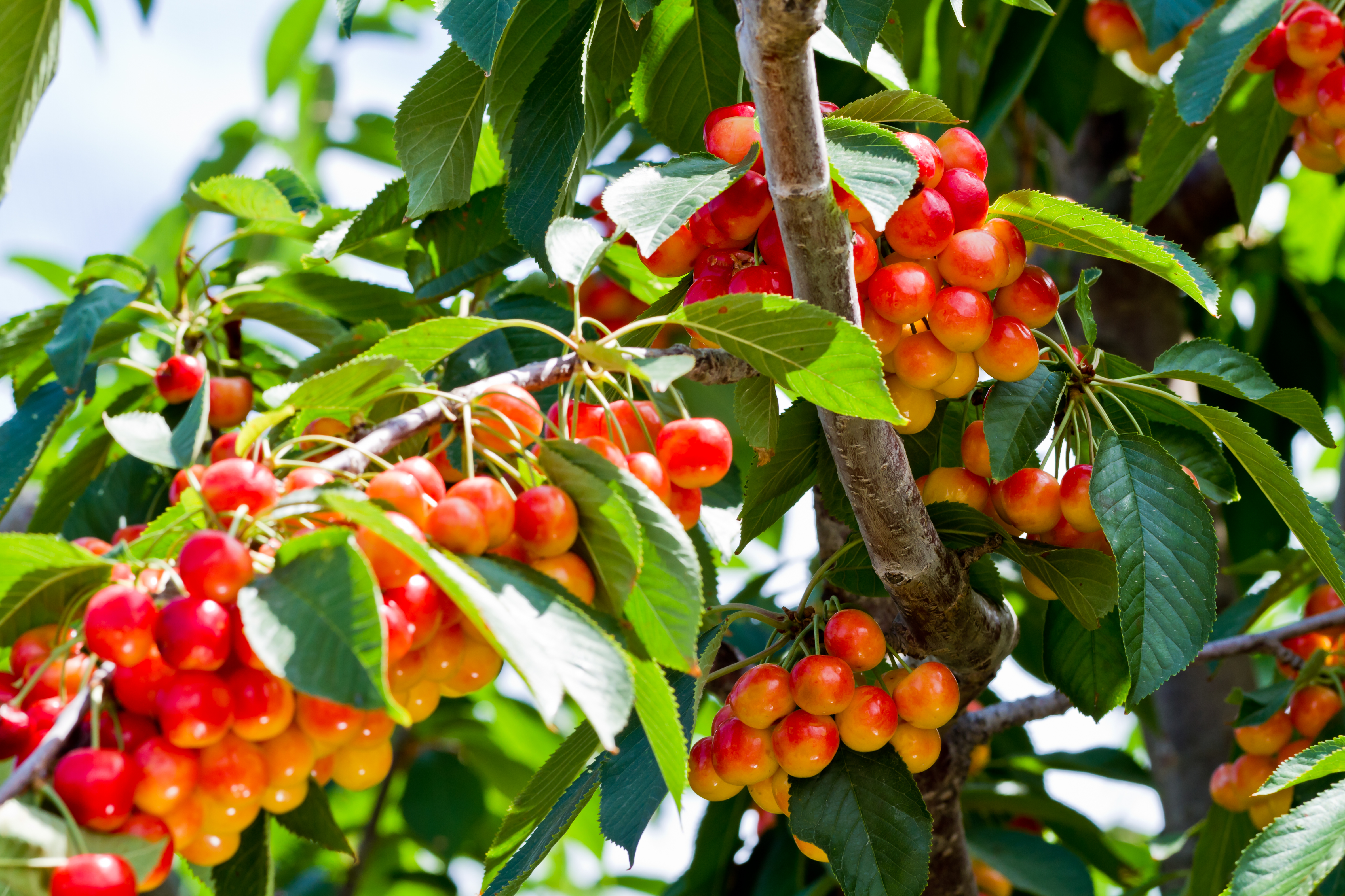Cherries-31.jpg
